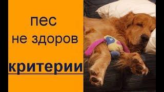 Собака заболела? КАК ПОНЯТЬ? пес болеет? основные моменты здоровья