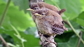 Wren Fledglings - Tiny Birds Chirping For Mum
