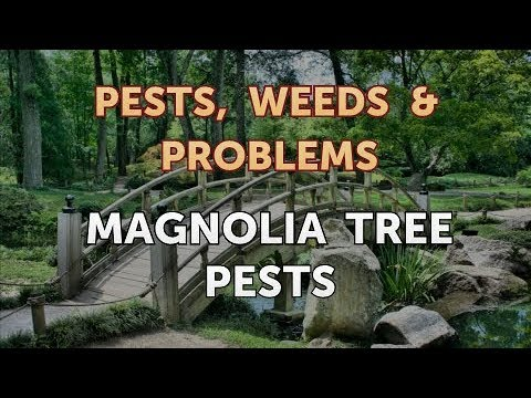 Magnolia Tree Pests Youtube