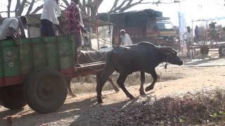 Buffalo bulls pulling a cart