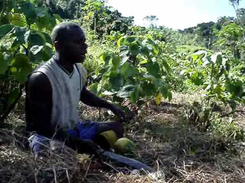 Madventurer Fiji - Nakavika Village, Moji Takes Us On A Guide To Yaqona Farming (grog/kava)..