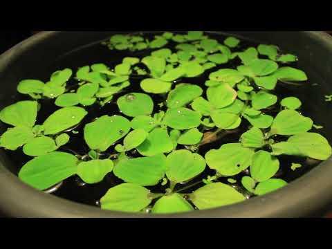 Пистия. Плавающие аквариумные растения. Польза от пистии в аквариуме. Простое аквариумное растение