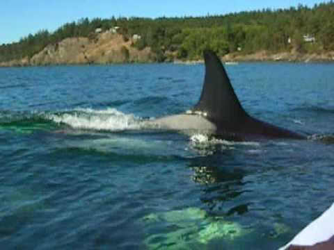 Kayaking With Killer Whales In The San Juan Islands Youtube