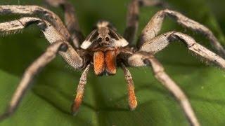 Vida de Aranha (Spider Reproduction)