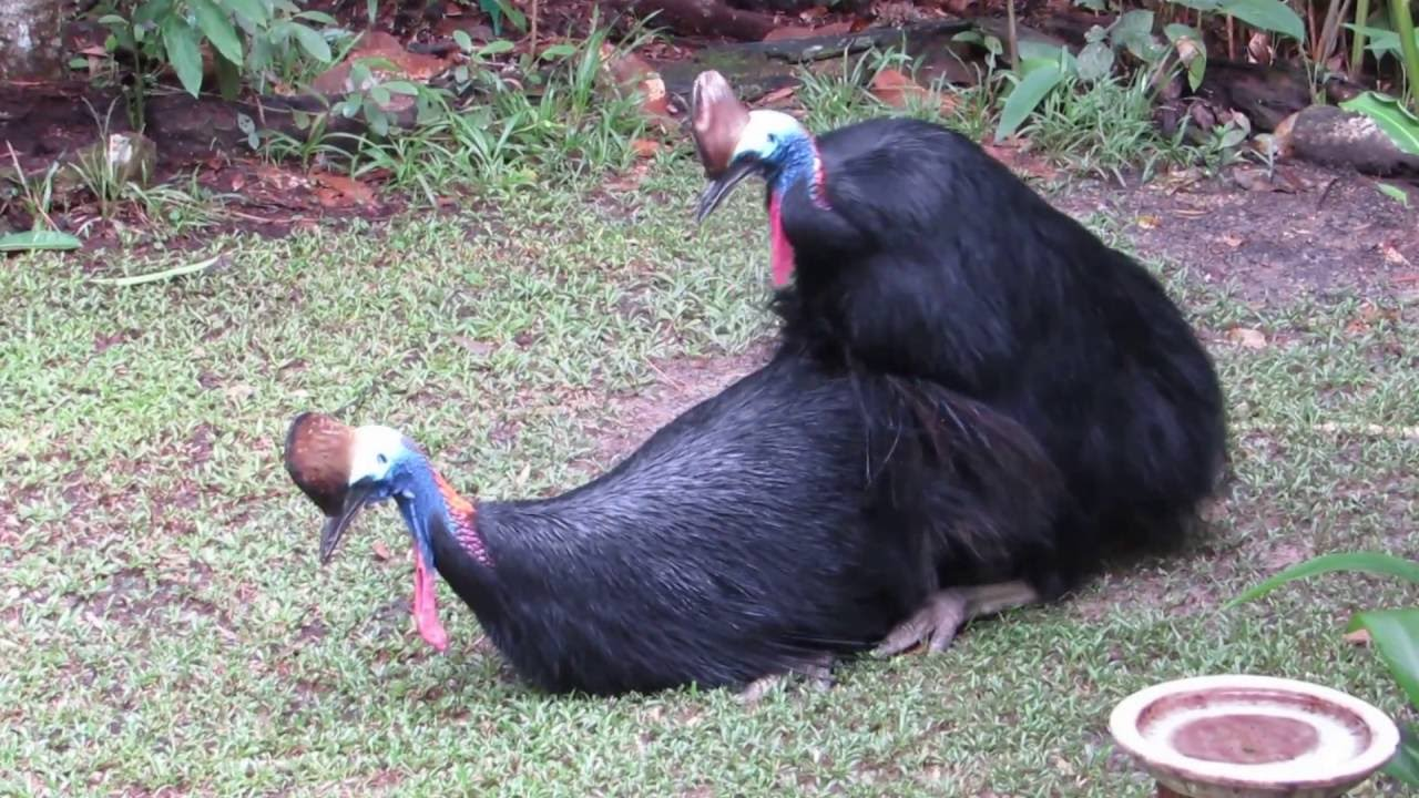 cassowaries mating, July 2016 - YouTube