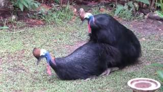 cassowaries mating, July 2016