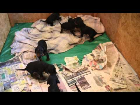 Gordon Setter puppies: May 1, 2016