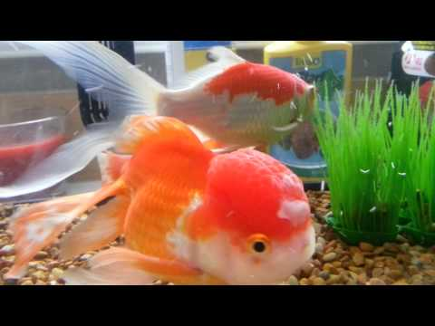 How To Treat White Fungus On Gold Fish Head : Day 3