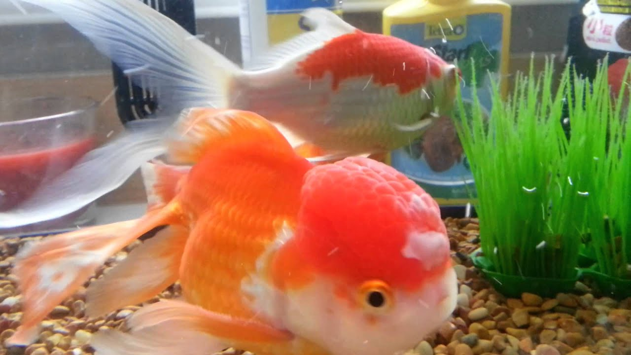 How to treat white fungus on gold fish head day 3 youtube for White fungus on fish
