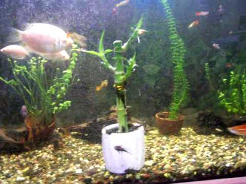 Lucky bamboo in fish tank youtube for Growing plants in water with fish