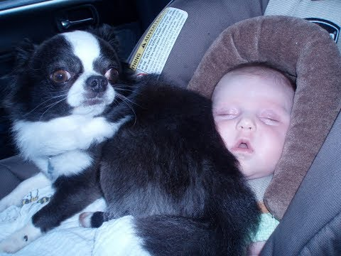 Chihuahua Babysitting Dogs Take Care And Playing with Babies - Dog is trusted friend of Baby