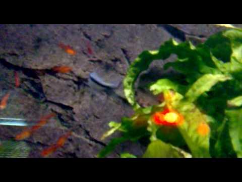 poisson d or eau douce 2