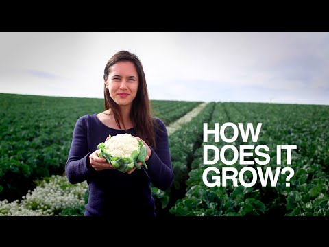 CAULIFLOWER | How Does it Grow?