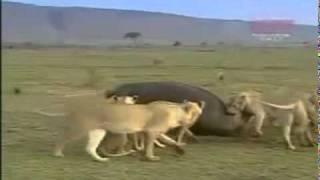 Бегемот против львов(http://www.anvirgo.ru Содружество агентств недвижимости., 2011-11-24T09:31:30.000Z)