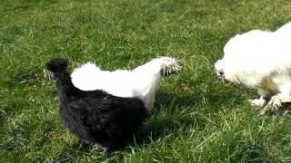 Hvit og sort Dverg Silkehøns / White and Black Silkie Bantam