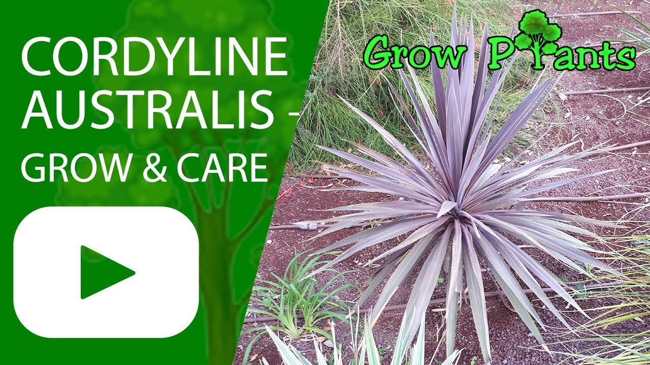 Cordyline Australis Grow And Care Youtube