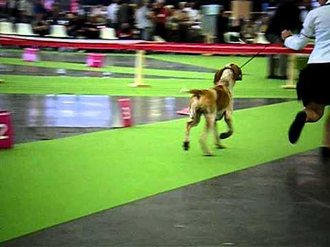 World Dog Show  - Bracco Italiano - Nicuzza del Tavulidaro