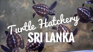 Turtle hatchery Kosgoda Sri Lanka