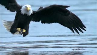 aigle chasse grand poisson . Subhan Allah
