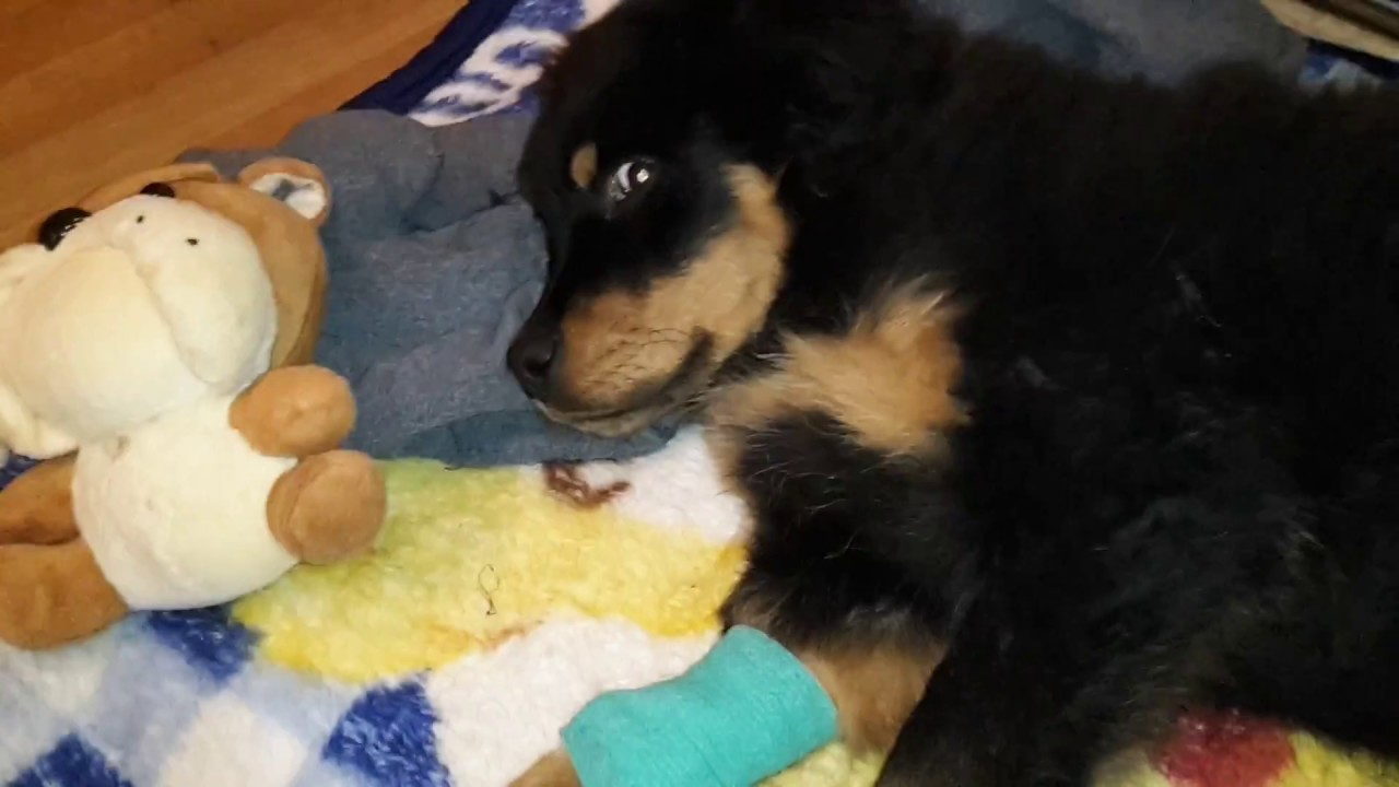 salus de câine cu varicoză)