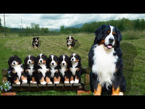 Mom Bernese Mountain Dog Giving Birth To Many Cute Puppies- Life Of Dog Breed