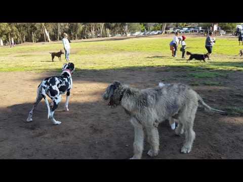 Battle Of Titans: Irish Wolfhound vs. Great Dane