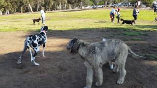Battle Of Titans: 7 Month old Irish Wolfhound vs. Great Dane Pups  Over 300,000 views