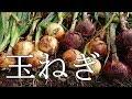 家庭菜園で簡単に作れる玉ねぎの育て方とコツ!『植付けから収穫した後の根切り作業』