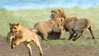 OMG! 2 King Lion destroy another Lion to protect the Lion cubs, epic battle of between Lions