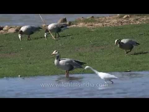 Bar-headed Goose in Satpura, Madhya Pradesh