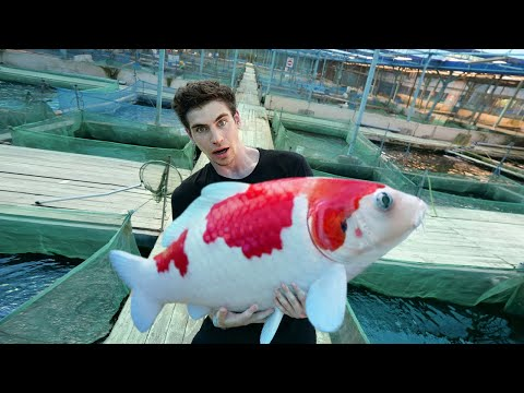 LARGEST KOI FISH
