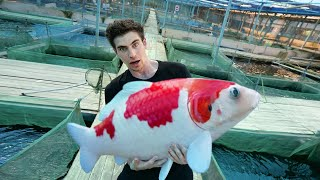 LARGEST KOI FISH FARM in SINGAPORE!! - (Private Tour)