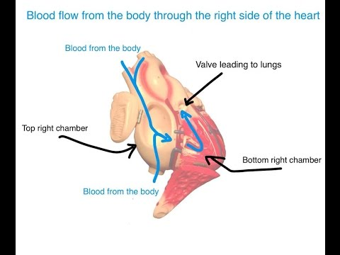 How the Heart Works   A Quick Guide