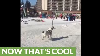Now this is what you call a 'doggy' ski lift!