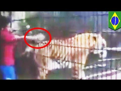Тигр откусил руку мальчику, пытавшемуся его погладить