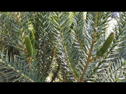 Araucária com produção precoce de pinhão - produção antecipada de estróbilos