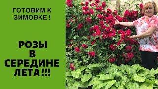 Розы в середине лета   ГОТОВИМ К ЗИМОВКЕ УЖЕ СЕЙЧАС