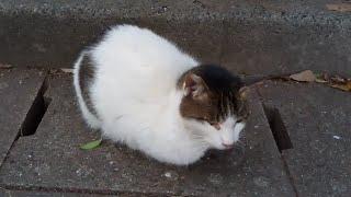 公園の白キジ猫、頭を撫でると喜んでゴロゴロ、膝の上の乗ってきた。 thumbnail