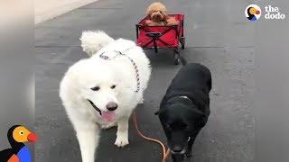 Happiest Dog Who Has Trouble Walking Gets Help From His Dog Siblings | The Dodo