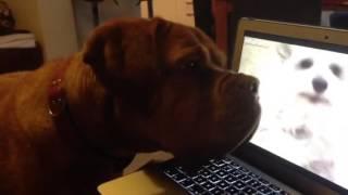 Dogue De Bordeaux Sniffing Out Barking Macbook
