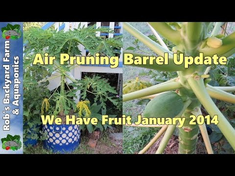 Air Pruning Barrel Update, We Have Fruit.. January 2014