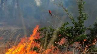 Zambia - Carmine Bee-eaters Facing The Fire By Marie-France Grenouillet