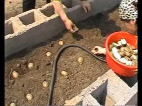 Выращивание картофеля столярный метод фото 322-535