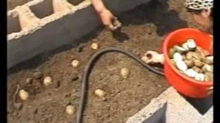Выращивание картофеля (интенсивное)(Технология для получения очень большого количества картофеля с небольшой площади. Дополнительная информа..., 2009-09-29T00:17:27.000Z)