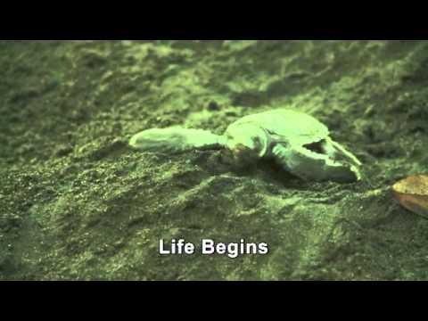 Green Sea Turtle Life Cycle, Tortuguero, Costa Rica