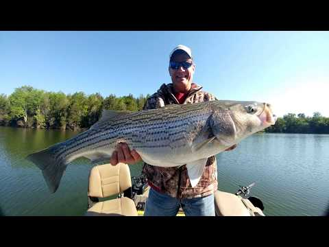 Striper Fishing With Captain Jay On Norris Lake