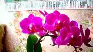 Орхидея фаленопсис мини Little Purple восковик ✿ Orchid Phalaenopsis Mini Little Purple voskovik(, 2016-06-26T14:16:56.000Z)