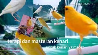 Masteran dan terapi burung kenari