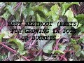 Best Beetroot (Beets) for growing in buckets.  The Reveal. Grow Vegetables