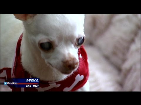 North Texas Couple Creates Invention To Help Blind Chihuahua